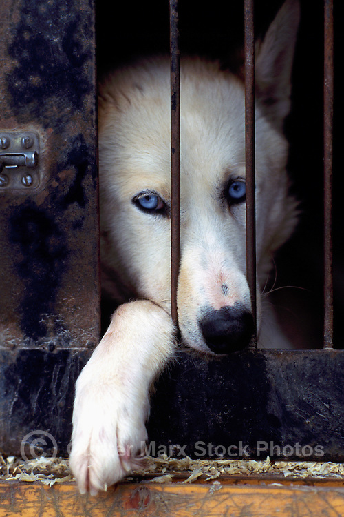 Sled Dog in Kennel at International Sled Dog Race near Falkland, BC, British Columbia, Canada - Nose and Paw between Bars