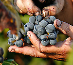 Concord grapes are hand picked in a vineyard in St. James, Missouri.