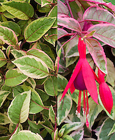 Fuchsia Tom West, in flower and variegated foliage, two different stages composite picture