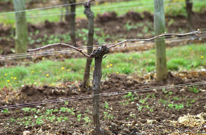Guyot double  pruned vines in the vineyard. Domaine du Chevalier. Graves, Pessac Leognan Bordeaux France