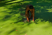 Collecting Duck and other feed for farm animals, small Pond near Angkor Wat, Siem reap, Cambodia