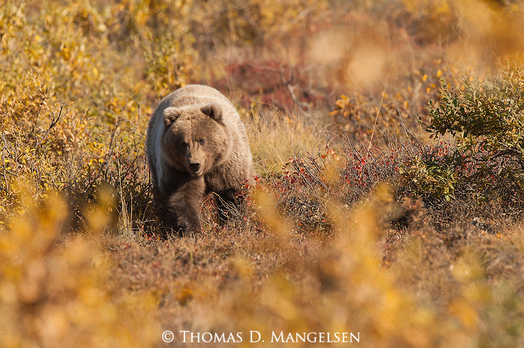 A grizzly bear walks across the autumn tundra in Denali National Park, Alaska.