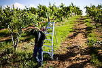 Jim Brenner thins out a peach tree on Brenner Ranch in Newcastle, CA April 29, 2010.