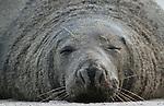 Foto: VidiPhoto<br /> <br /> D&Uuml;NE  - Spelende zeehonden op het strand van het piepkleine eilandje D&uuml;ne, bij Helgoland in het Duitse deel van de Waddenzee. Aan het eind van de herfst/begin winter worden er ieder jaar op D&uuml;ne tientallen zeehondenbaby's geboren. Op de stranden van het eiland verblijven honderden zeehonden in allerlei soorten en maten. D&uuml;ne is daarom zeer geliefd bij foto-amateurs.