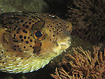 Kenting, Taiwan -- Partly blown up porcupinefish (balloonfish)<br />