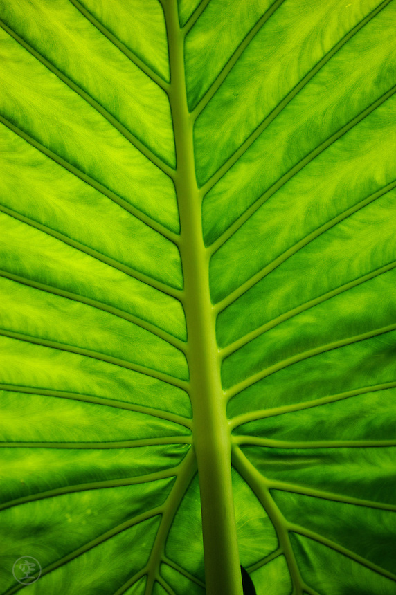 Detail of the veins of a bright green elephant ear plant (Colocasia).
