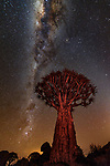 Quiver tree or kokerboom, Karas Region, Namibia