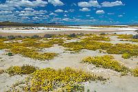 Tidy Tips, Goldfields, Soda Lake, Carrizo Plain National Monument, California