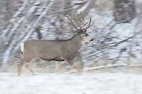 Trophy mule deer buck (Odocoileus hemionus) running