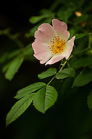 Detail of a single wild rose blossom.