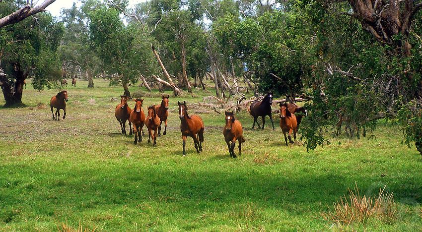 Wild horses on the floodplains of Northern Australia