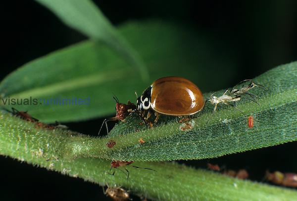 Spotless ladybug feeding on aphids. ,Coccinellidae,