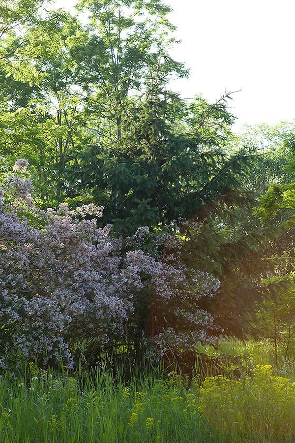 Summer light in the forest wtih flowering bush, Williamsburg, Michigan, near Traverse City