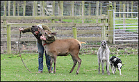 BNPS.co.uk (01202 558833)<br /> Pic: DavidFitzgerald/BNPS<br /> <br /> Kenny walking roe deer Yanna and his Irish wolfhound-deerhound cross Hennessy, accompanied by a calf.<br /> <br /> Supplying farm animals to TV and film crews, including the huge hit series Game of Thrones, has saved Kenny Gracey's bacon.<br /> <br /> The 57-year-old farmer started supplying pigs, cows, donkeys, goats and even a trained deer to Hollywood seven years ago, when the recession was hitting his business hard.<br /> <br /> Mr Gracey said the film work his animals get has helped him pay the bills and keep his business going.<br /> <br /> Forthill Farm in Tandragee, Northern Ireland, specialises in traditional breeds like Longhorn cattle and Gloucestershire old spot pigs, ideal for shows and films set in medieval times.