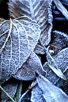 Frosted leaves rest on the cool Minnesota ground as autumn releases to the cold breath of winter