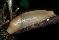 Pacific Banana Slug Ariolimax columbianus insect chewing pest
