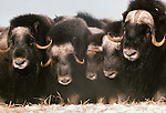 Muskoxen defensive circle, Nunivak Island, Alaska, USA