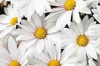 Pot Mum flower, Chrysanthemum 'Petaluma White', California Spring Trials, Sygenta