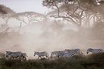 Grant's zebras, Amboseli National Park, Kenya