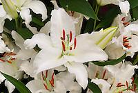 Lilium 'Universe' Oriental lilies white no spots flowers