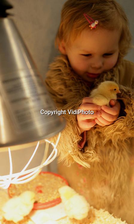 Foto: VidiPhoto..BARNEVELD - De driejarige Rowen Schulte knuffelt met zojuist geboren kuikentjes in het Pluimveemuseum in Barneveld. Vanaf woensdag is het museum na een lange winterstop weer geopend voor het publiek. Dinsdag werd er een symposium over Voeding en Sport in het museum gehouden en werd het grootste mozaïek kunstei ter wereld onthuld.