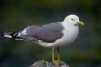 540060323 a wild mew gull larus canus in white-headed breeding plumage perches on a shoreline rock along the coast of southwest alaska