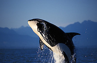 ns4. Orca (Orcinus orca) breaching. British Columbia, Canada, Pacific Ocean. .Photo Copyright © Brandon Cole. All rights reserved worldwide.  www.brandoncole.com..This photo is NOT free. It is NOT in the public domain. This photo is a Copyrighted Work, registered with the US Copyright Office. .Rights to reproduction of photograph granted only upon payment in full of agreed upon licensing fee. Any use of this photo prior to such payment is an infringement of copyright and punishable by fines up to  $150,000 USD...Brandon Cole.MARINE PHOTOGRAPHY.http://www.brandoncole.com.email: brandoncole@msn.com.4917 N. Boeing Rd..Spokane Valley, WA  99206  USA.tel: 509-535-3489
