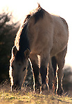 Konik Horse, Kent UK, grazing, feeding on grass, direct descendants of the Tarpan, a wild horse which was hunted to extinction, Koniks is Polish word for wild horse, winter coat, pony, introduced into wetland areas to help graze and keep reedbeds managed for conservation