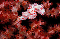nm1106. Pygmy Seahorse (Hippocampus bargibanti). Indonesia, tropical Indo-Pacific Ocean..Photo Copyright © Brandon Cole. All rights reserved worldwide.  www.brandoncole.com..This photo is NOT free. It is NOT in the public domain. This photo is a Copyrighted Work, registered with the US Copyright Office. .Rights to reproduction of photograph granted only upon payment in full of agreed upon licensing fee. Any use of this photo prior to such payment is an infringement of copyright and punishable by fines up to  $150,000 USD...Brandon Cole.MARINE PHOTOGRAPHY.http://www.brandoncole.com.email: brandoncole@msn.com.4917 N. Boeing Rd..Spokane Valley, WA  99206  USA.tel: 509-535-3489