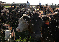 Flies buzz around a herd of cows while cowboys separate calves from mothers during the weaning process at Freddie Rice's Ranch in Waimea, Hawaii.  Like on the mainland, the cowboy lifestyle in Hawaii, despite its exotic setting, is rough and dirty.