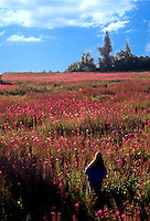 Woman walking in field of fireweed flowers in spring, Kenai Pennisula, Alaska.