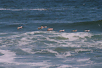 Several brown pelicans fly over the waves of the Pacific Ocean on Samoa near Eureka in Humboldt County in Northern California.