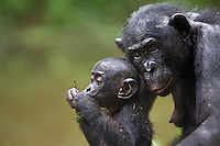 Bonobo female and baby (Pan paniscus), Lola Ya Bonobo Sanctuary, Democratic Republic of Congo.