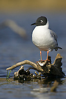 Bonaparte's Gull standing on a semi-submerged log