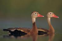 Black-bellied Whistling-Duck, Dendrocygna autumnalis, pair swimming, Lake Corpus Christi, Texas, USA