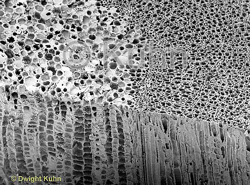 PX56-003z Stem Cross section PJM Rhododendron<br /> SEM 360x [8x10]