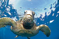 Green sea turtle swimming on the shores of Maui.