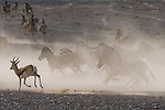 Springbok and zebras, Ongava Reserve, Namibia