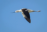 American Avocet, in flight