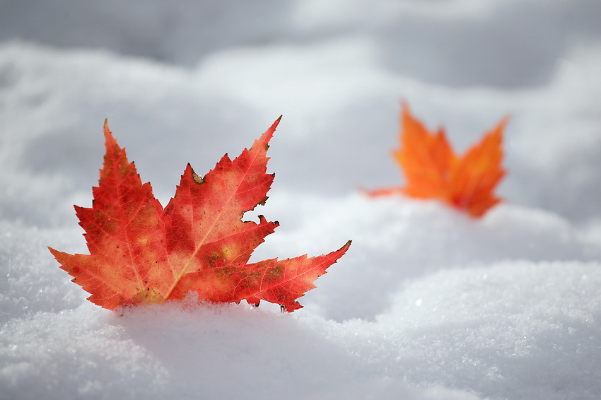 """CHANGING SEASONS"" -- Lingering Maple leaves stuck in the snow after an early November snowstorm."