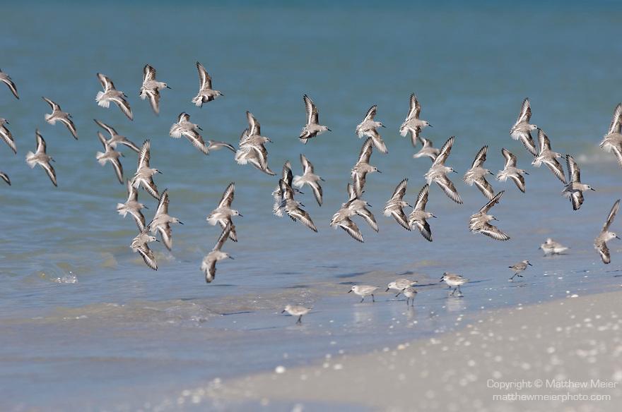 Sanibel Island, Florida; a flock of Sanderling (Calidris alba) birds in flight at the water's edge, Gulf of Mexico © Matthew Meier Photography, matthewmeierphoto.com All Rights Reserved