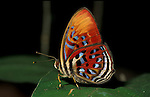 Laxita orphna butterfly, family Nemeobiidae, red orange, blue and white stripes, side view showing underside of wings, Sabah, Borneo.Borneo....