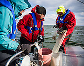 Stiv Wilson of 5 Gyres which is renowned for research on plastic pollution in the ocean's gyres, examines a sample from the Chesapeake Bay for polution including plastics. Julie Lawson, executive director of Trash Free Maryland and Johnathan Berard of Blue Water Baltimore helped collect the samples during a 4 day expedition in the Bay. <br /> <br /> PHOTOS/John Nelson