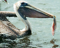 pelican with trout filet in beak