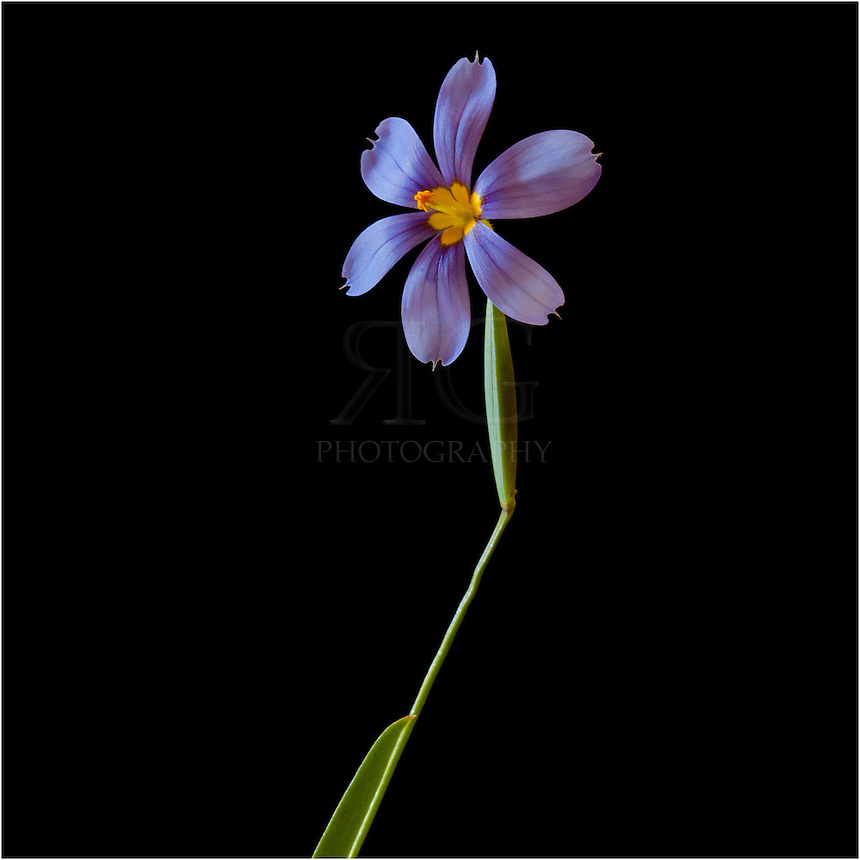 This Texas Wildflower - Celestial Nemastylis - blooms in March, April, and May. Each flower only lasts one day, but the blue and purple blooms are small and beautiful. These Texas Wildflowers are a member of the Iris family.