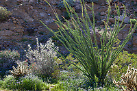 Glorieta Canyon desert landscape with Ocotillo (Fouquieria splendens), Desert Lavender (Condea emory), Cholla cactus, and wildflowers, California native plant Anza Borrego State Park. Superbloom 2017