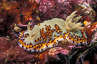 This attractive nudibranch, Chromodoris naiki, is rarely encountered in the Andaman Sea. Mergui Archipelago, Myanmar/Burma, Andaman Sea. filename: nb172