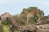 An African cheetah stands alert on top of a fallen tree branch, Botswana, Africa
