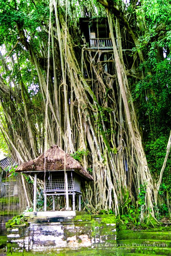 Templet Pura Kehen, nest viktigste tempel på Bali. Svært banyan tre med kulkul imellom greinene.