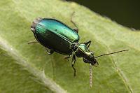 Colorful Foliage Ground Beetle (Lebia viridis), Bald Eagle State Park, Howard, Centre County, Pennsylvania